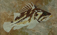 Coppery brown, gold, beige rockfish with dorsal spines erect on an underwater rock background.